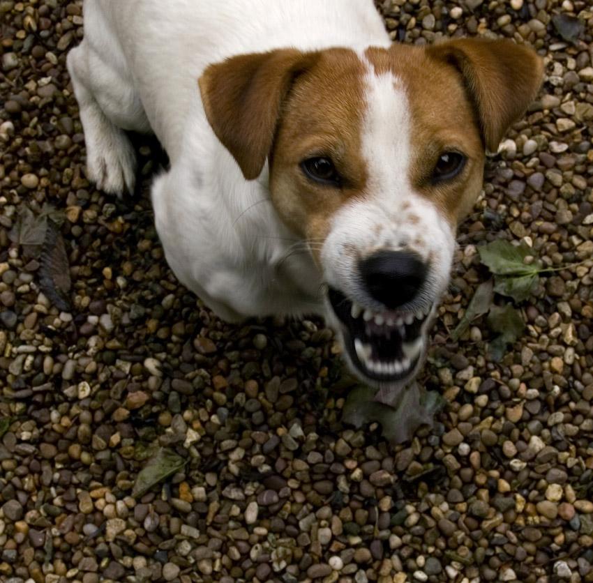 barking jack