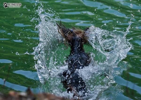 Η Νεφέλη, το Γιορκσάιρ, τρέχει πάντα πρώτη να μπει στο νερό.