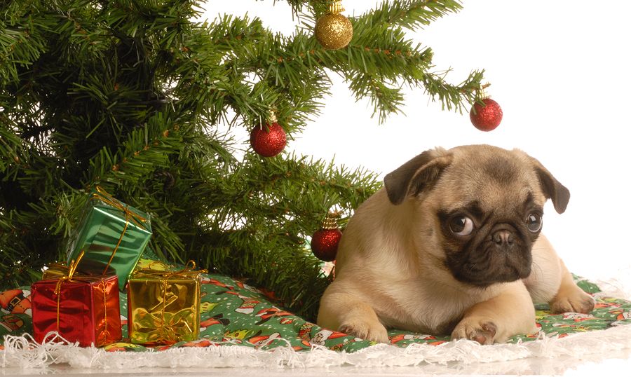 cute fawn pug puppy under christmas tree