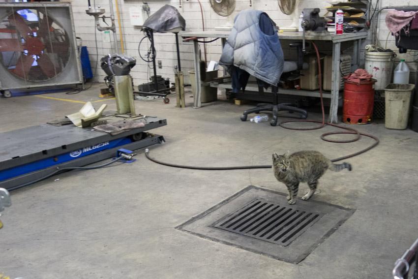 Ένας...εργαζόμενος στο γκαράζ  αστυνομικού τμήματος  του  Λος Άντζελες. Η κομμένη άκρη στο αριστερό αυτί είναι το διεθνές σήμα ότι ο γάτος αυτός είναι στειρωμένος.