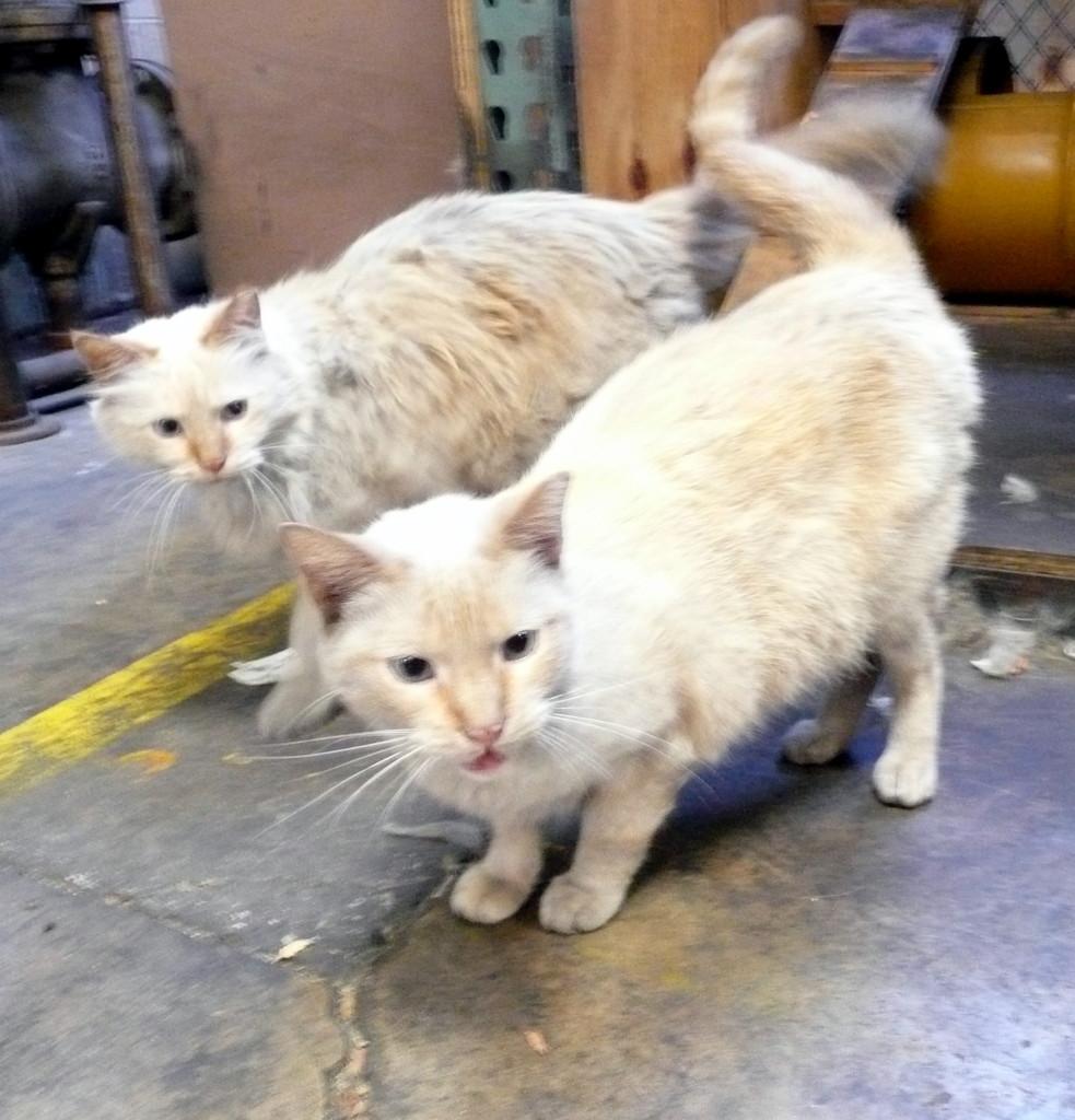 Ο King και ο Prince άνοιξαν το επάγγελμα του ποντικοκυνηγού στο Σικάγο.