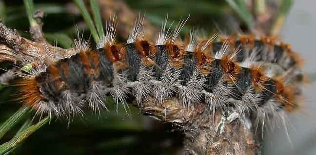 Pine processionary caterpillar 2