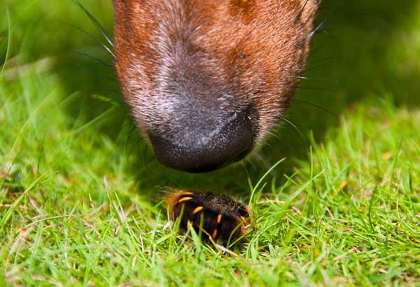 dog-nose-worm