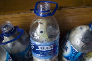 In this photograph taken on May 4, 2015 shows rare Indonesian yellow-crested cockatoos placed inside water bottles confiscated from alleged wildlife smuggler.  A 37 year old man was arrested after he alighted a passenger ship in Tanjung Perak port in Surabaya, in eastern Java island.  Police found 21 yellow-crested cockatoos and one green parrot.    AFP PHOTOSTR/AFP/Getty Images