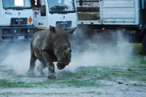 rhinos5