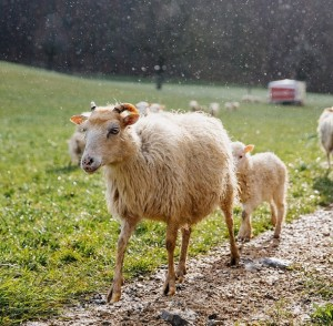 Πρόβατο πρόβατα Ελβετία