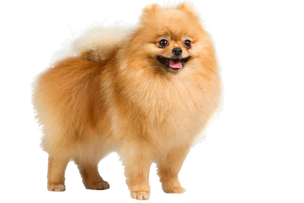 Pomeranian_cutout