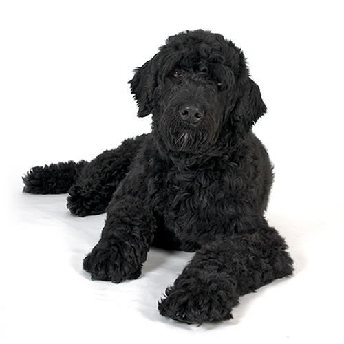 sw Portuguese-Water-Dog