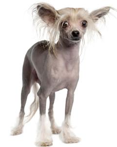 sw hairless dog