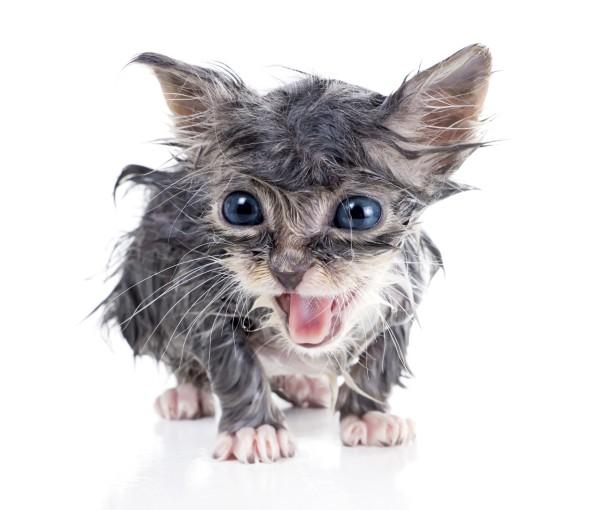 sw wet kitten