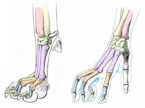 canine-front-paw-bones-compare-143B23B2D9346FB42E1
