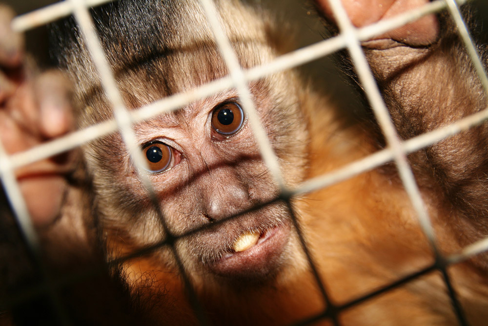 experiments macao monkey www